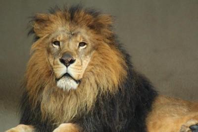 凛々しい顔のライオン